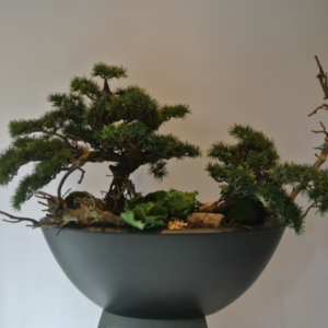Dirkx Plantenbak Pinus Bonsai
